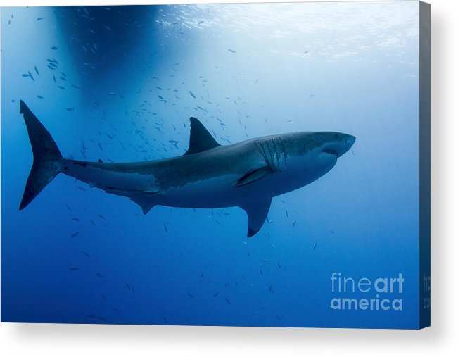 Carcharodon Carcharias Acrylic Print featuring the photograph Male Great White Shark, Guadalupe by Todd Winner