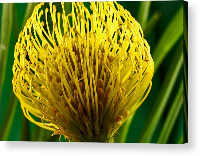 Flowers Acrylic Print featuring the photograph Picture Of A Pincushion Protea by Perla Copernik