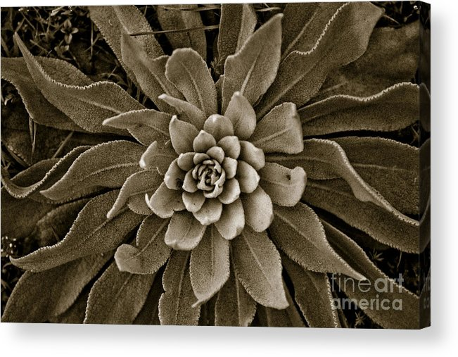 Flower Acrylic Print featuring the photograph Round by Gabriela Insuratelu