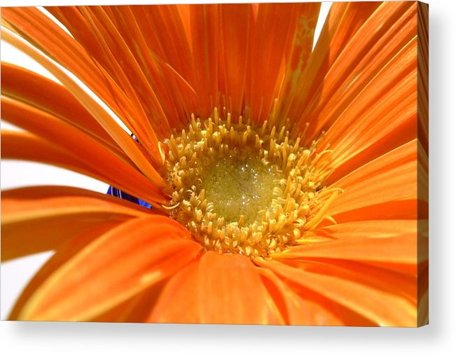 Gerbera Photographs Acrylic Print featuring the photograph 2106zc-002 by Kimberlie Gerner