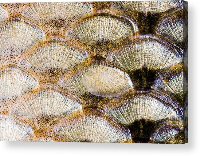 Abstract Acrylic Print featuring the photograph Fish Scales Background by Odon Czintos