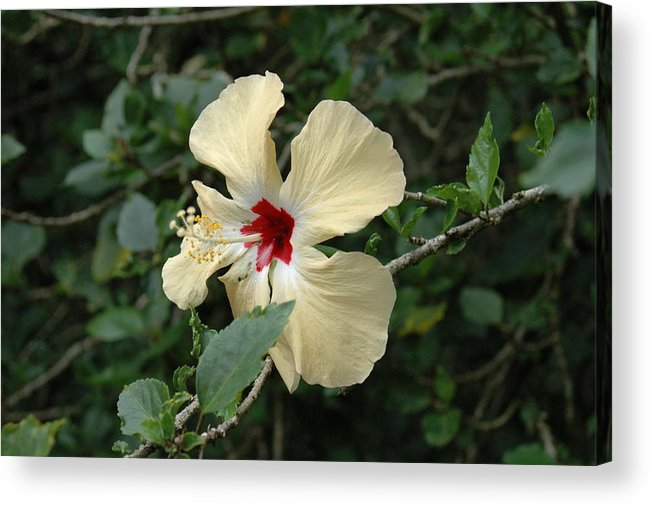 Hibiscus Acrylic Print featuring the photograph Untitled by Kathy Schumann