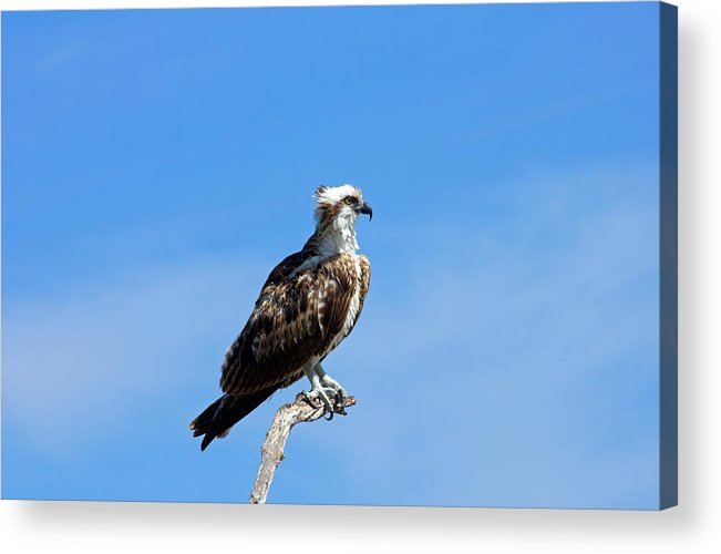 Osprey Acrylic Print featuring the photograph Osprey by Wild Expressions Photography