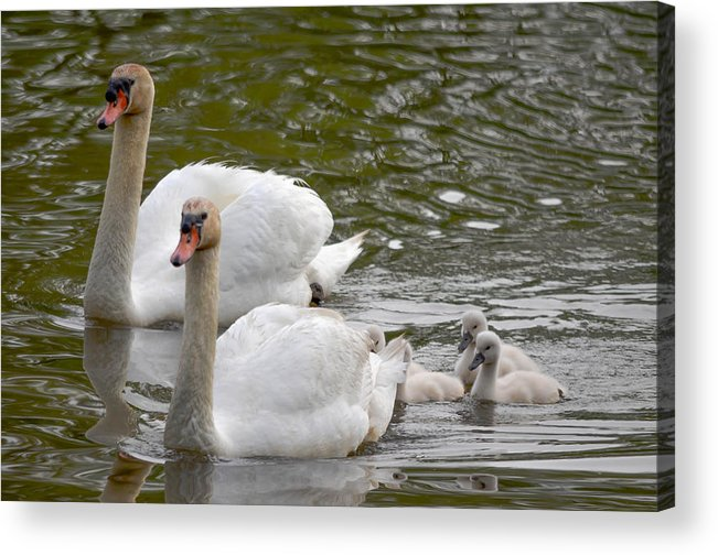 Acrylic Print featuring the photograph Mute Swans by Brian Stevens
