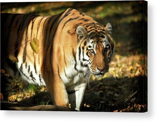 Tiger Acrylic Print featuring the photograph A Beautiful Work Of Art by Tom Buchanan