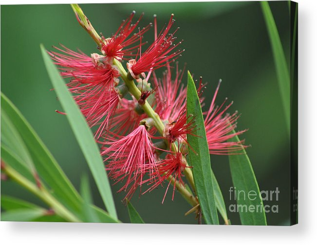 Bottle Brush Acrylic Print featuring the photograph A Brush With Beauty by Joanne Kocwin
