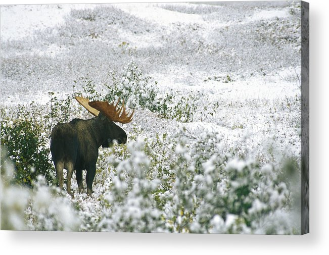 North America Acrylic Print featuring the photograph A Bull Moose On A Snow Covered Hillside by Rich Reid