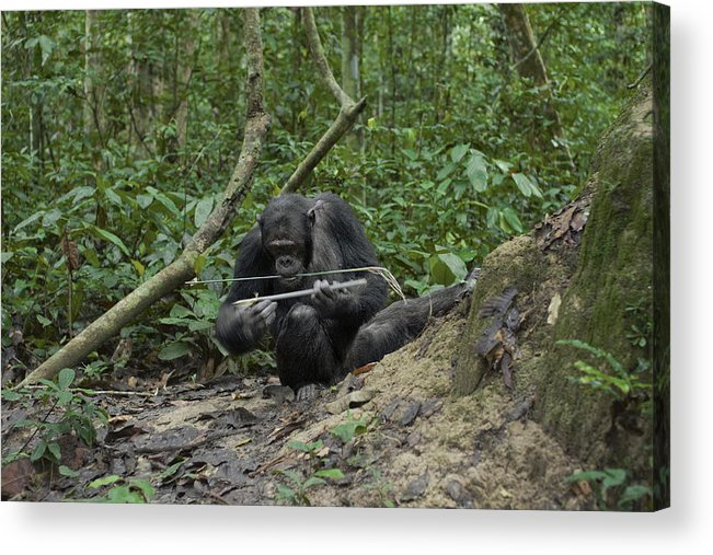 Outdoors Acrylic Print featuring the photograph A Chimp At A Termite Mound Fishing by Ian Nichols