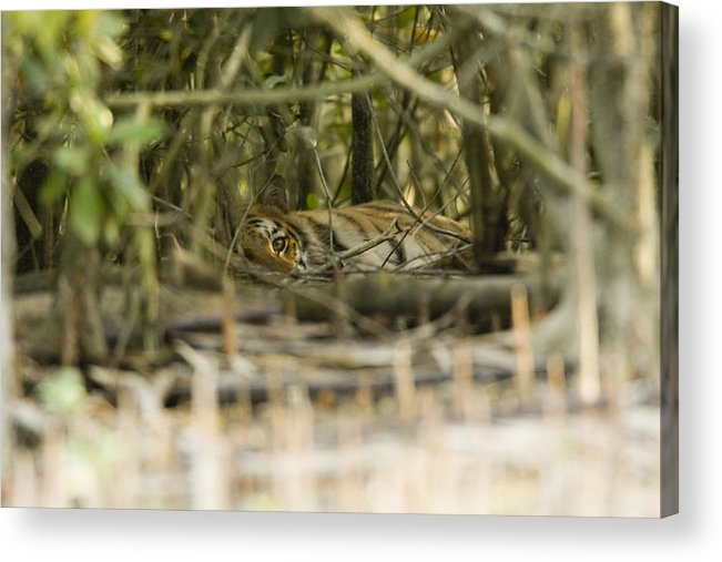 Day Acrylic Print featuring the photograph A Female Tiger Rests In The Undergrowth by Tim Laman