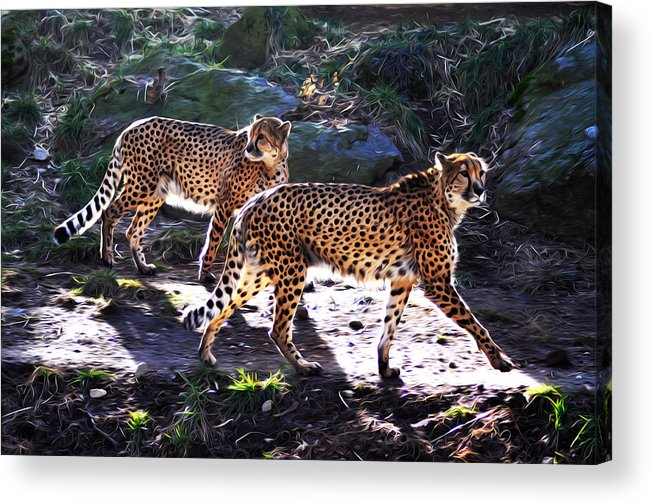 A Pair Of Cheetah's Acrylic Print featuring the photograph A Pair Of Cheetah's by Bill Cannon