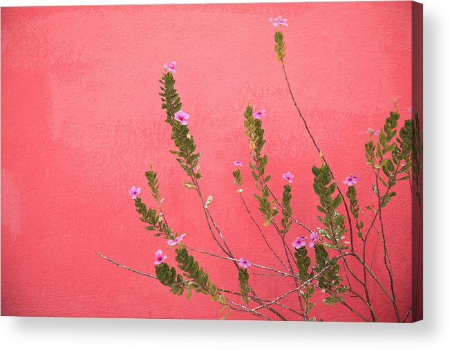 Building Acrylic Print featuring the photograph A Pink Flowering Plant Growing Beside A by Stuart Westmorland