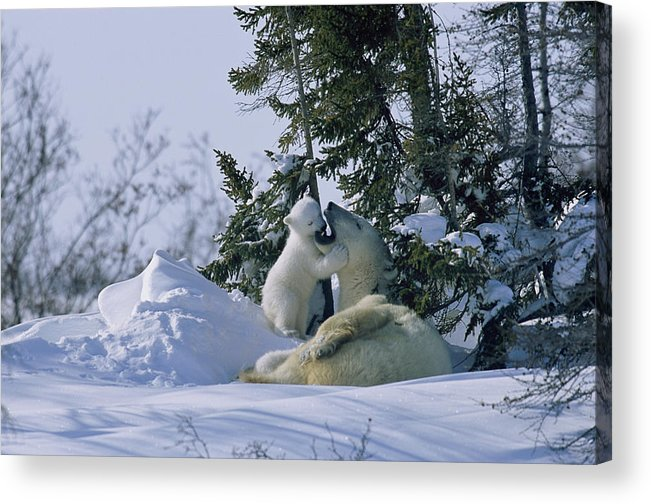 Natural Forces And Phenomena Acrylic Print featuring the photograph A Polar Bear Cub Plays With Its Resting by Norbert Rosing