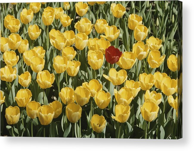 Plants Acrylic Print featuring the photograph A Single Red Tulip Among Yellow Tulips by Ted Spiegel