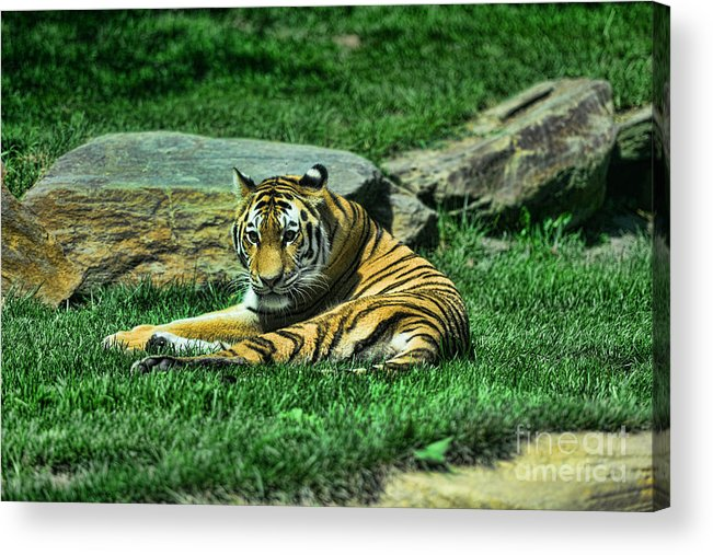 The Tiger's Gaze Acrylic Print featuring the photograph A Tiger's Gaze by Paul Ward