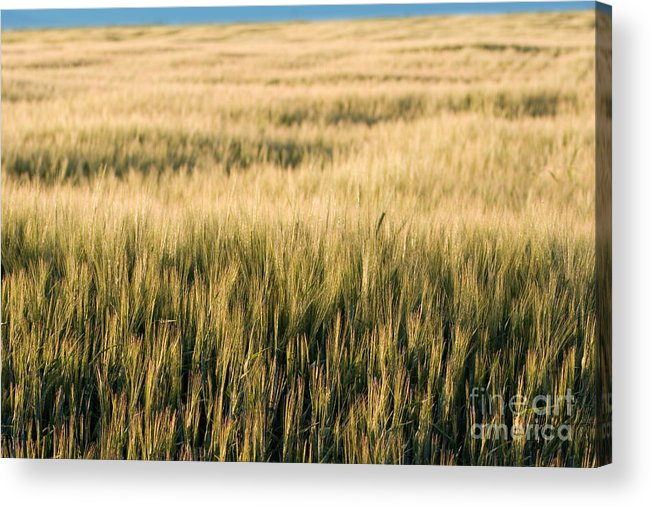 Agriculture Acrylic Print featuring the photograph Amber Waves Of Grain by Cindy Singleton