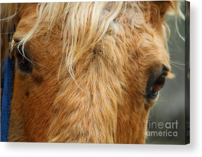 Horse Acrylic Print featuring the photograph And Your Point Is ... by Jesse Ciazza