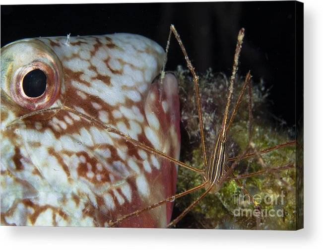Parrotfish Acrylic Print featuring the photograph Arrow Crab And Parrotfish, Belize by Todd Winner