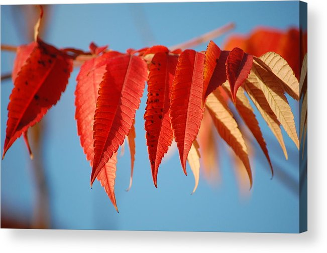 Dickon Acrylic Print featuring the photograph Autumn Scarlet by Dickon Thompson