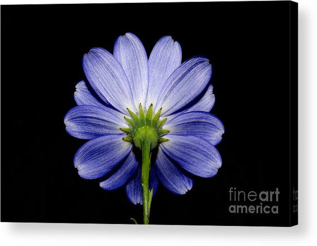 Flower Acrylic Print featuring the photograph Backside Of A Blue Flower by Mats Silvan
