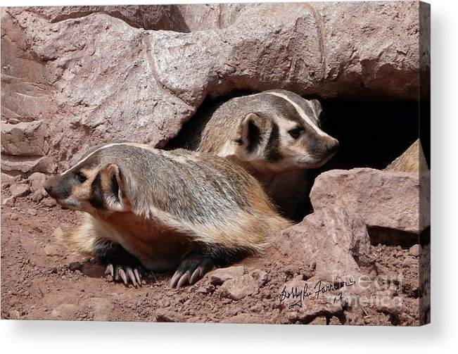 Badger Acrylic Print featuring the photograph Badgers by Bobbylee Farrier