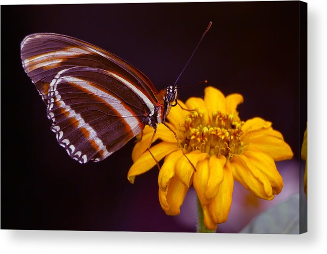 Butterfly Acrylic Print featuring the photograph Banded Orange Heliconian Dryadula Phaetusa by Edward Kreis