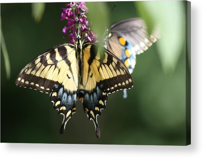 Butterfly Acrylic Print featuring the photograph Beauty Of Butterflies by Victoria Kurlinski