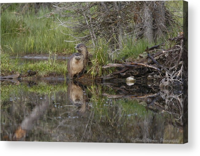 Beaver Acrylic Print featuring the photograph Beaver Pair by Charles Warren