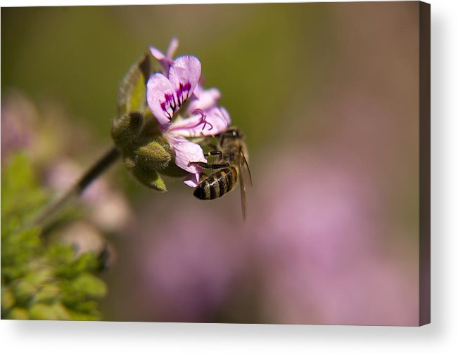 Wild Flowers Acrylic Print featuring the photograph Bee On Flower Blooming by Manolis Tsantakis