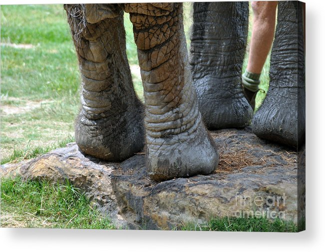 Elephant Acrylic Print featuring the photograph Best Foot Forward by Joanne Kocwin