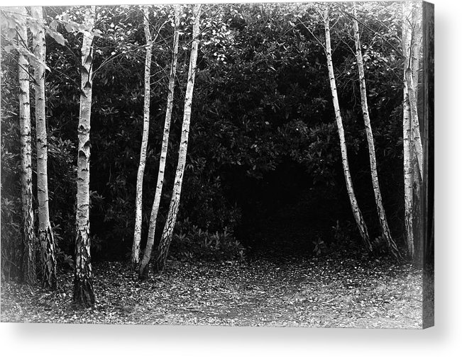 Nature Acrylic Print featuring the photograph Birches In Black And White by David Resnikoff