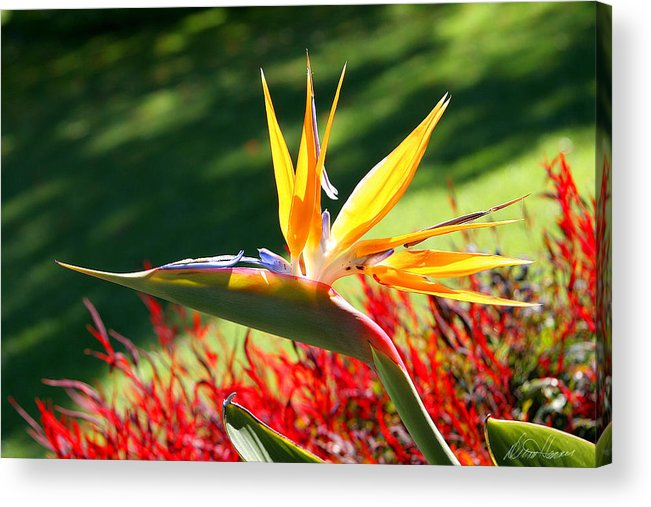 Flower Acrylic Print featuring the photograph Bird Of Paradise by Diana Haronis