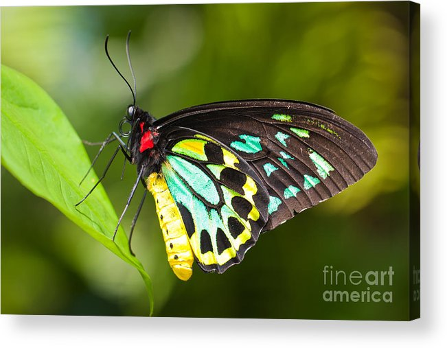 Butterfly Acrylic Print featuring the photograph Birdwing Butterfly by Johan Larson
