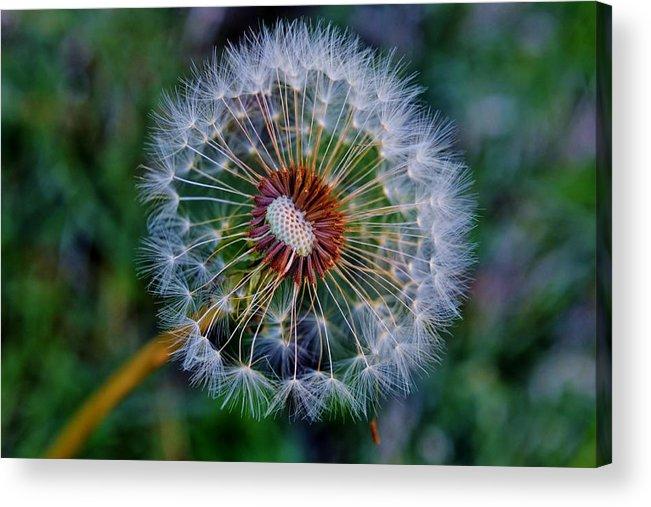 Flower; Plant; Garden; Sunlight; Nature; Macro; Dandelion; Winter; Background; Decorative; Blooming; White; Green; Brown; Acrylic Print featuring the photograph Blooming Dandelion by Werner Lehmann