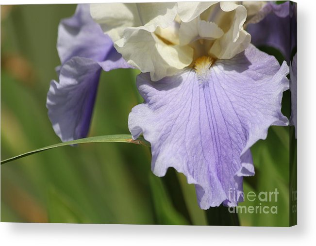 Acrylic Print featuring the photograph Blue Beard by Bev Veals