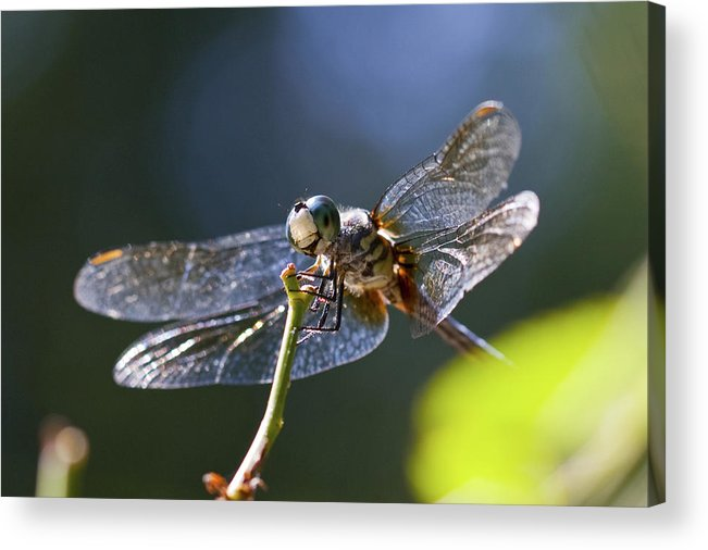 Insect Acrylic Print featuring the photograph Blue Dragonfly by Amy Jackson