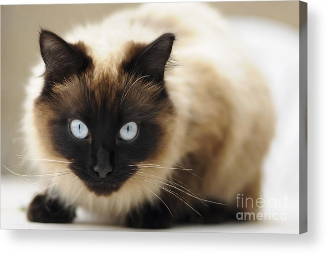England Acrylic Print featuring the photograph Blue Eyes by Andrew Michael