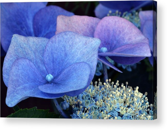 Hydrangea Acrylic Print featuring the photograph Blue Hydrangea. by Terence Davis