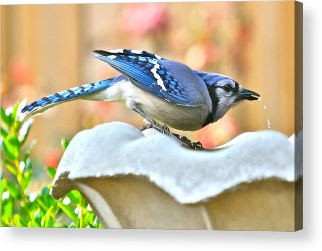 Blue Acrylic Print featuring the photograph Blue Jay by Debbie Sikes