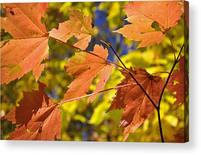 Blue Ridge Acrylic Print featuring the photograph Blue Ridge Autumn Leaves 1.0 by Bruce Gourley