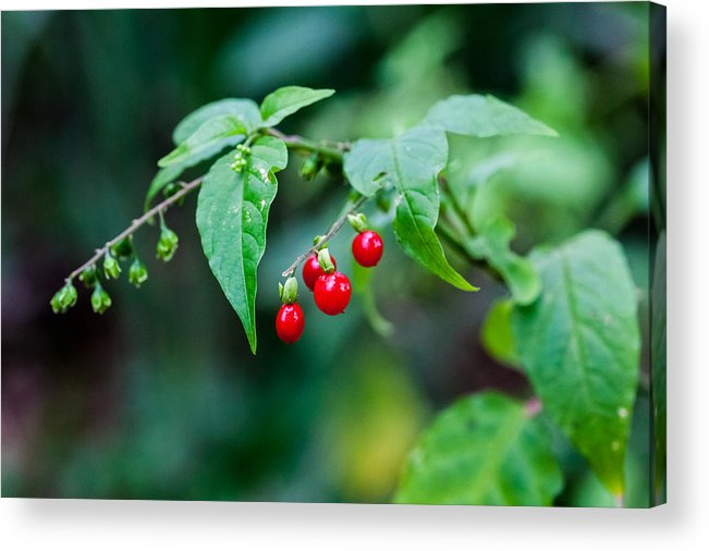 Red Acrylic Print featuring the photograph Bright Red Berries by Craig Lapsley