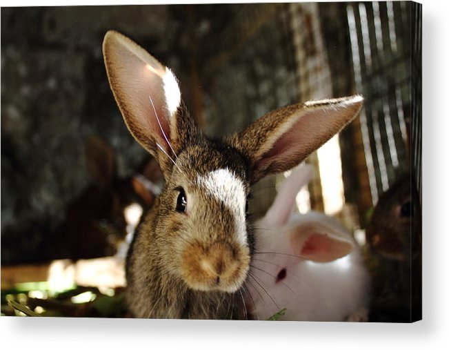 Brown Acrylic Print featuring the mixed media Brown Rabbit by Ion Para