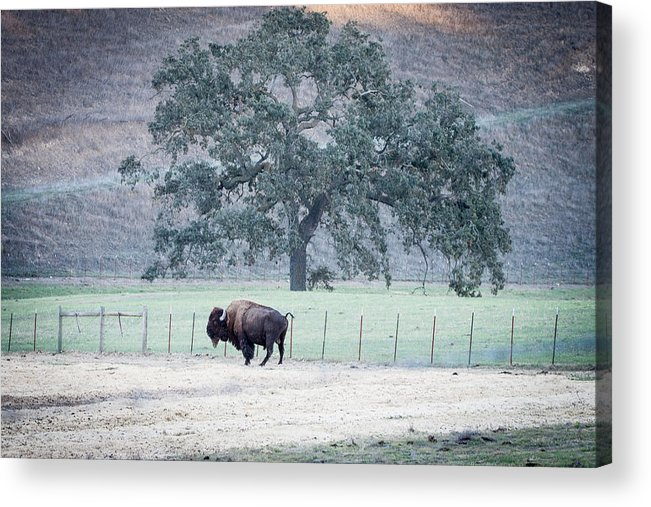 Bison Acrylic Print featuring the photograph Buffalo And An Oak Tree by Dina Calvarese