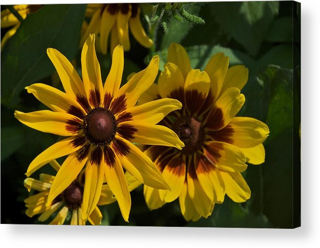Daisies Acrylic Print featuring the photograph Burgundy by Joseph Yarbrough