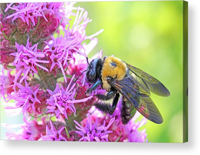 Becky Acrylic Print featuring the photograph Busy As A Bee by Becky Lodes