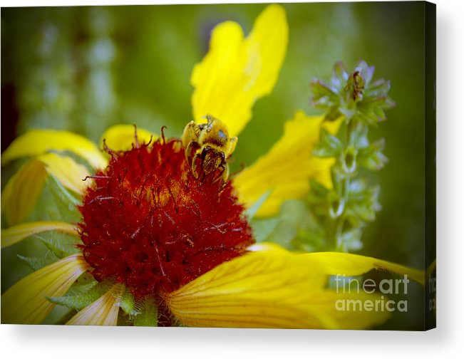 Bee Acrylic Print featuring the photograph Busy Bee by Anjanette Douglas