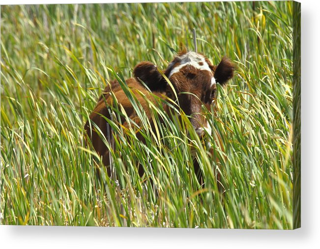 Cows Acrylic Print featuring the photograph Camo Cow by Rod Giffels
