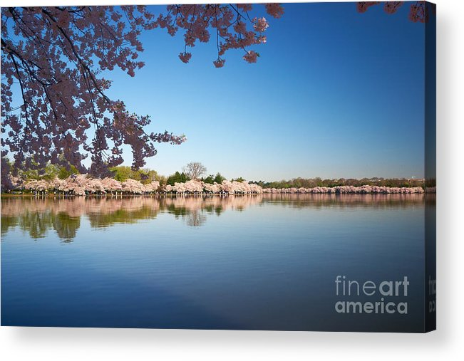 Cherry Acrylic Print featuring the photograph Cherry Blossoms Along The Tidal Basin by Susan Isakson