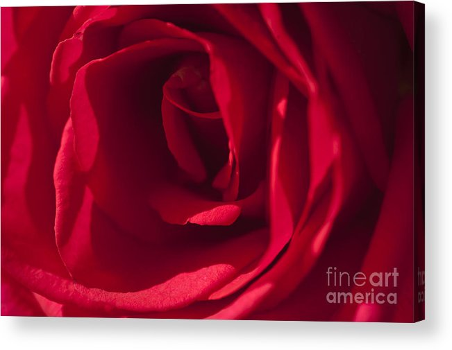 Red Rose Acrylic Print featuring the photograph Classic Rose by Sandra Bronstein