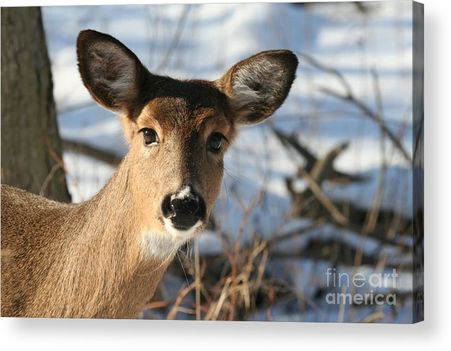 Horizontal Acrylic Print featuring the photograph Close Up Of Deer In A Snowy Wooded Setting by Christopher Purcell