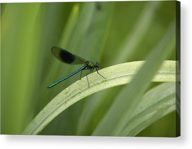 Day Acrylic Print featuring the photograph Close-up Of Dragonfly Perched On Leaf by Peter McCabe